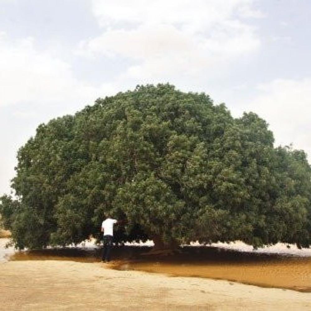 بذور شجرة النبق