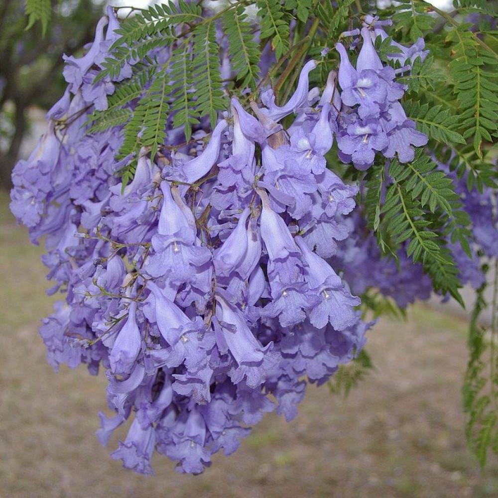 شجرة الجاكرندا البنفسجية