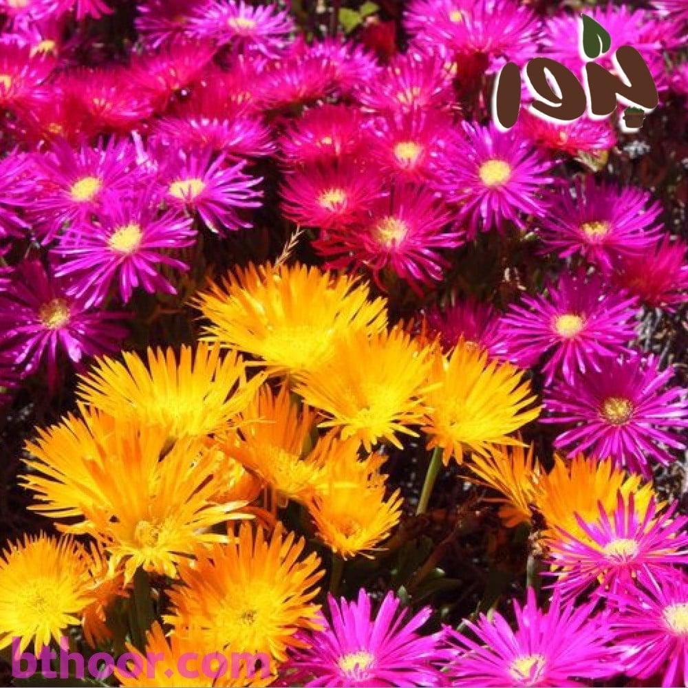 زهور السجاد السحري