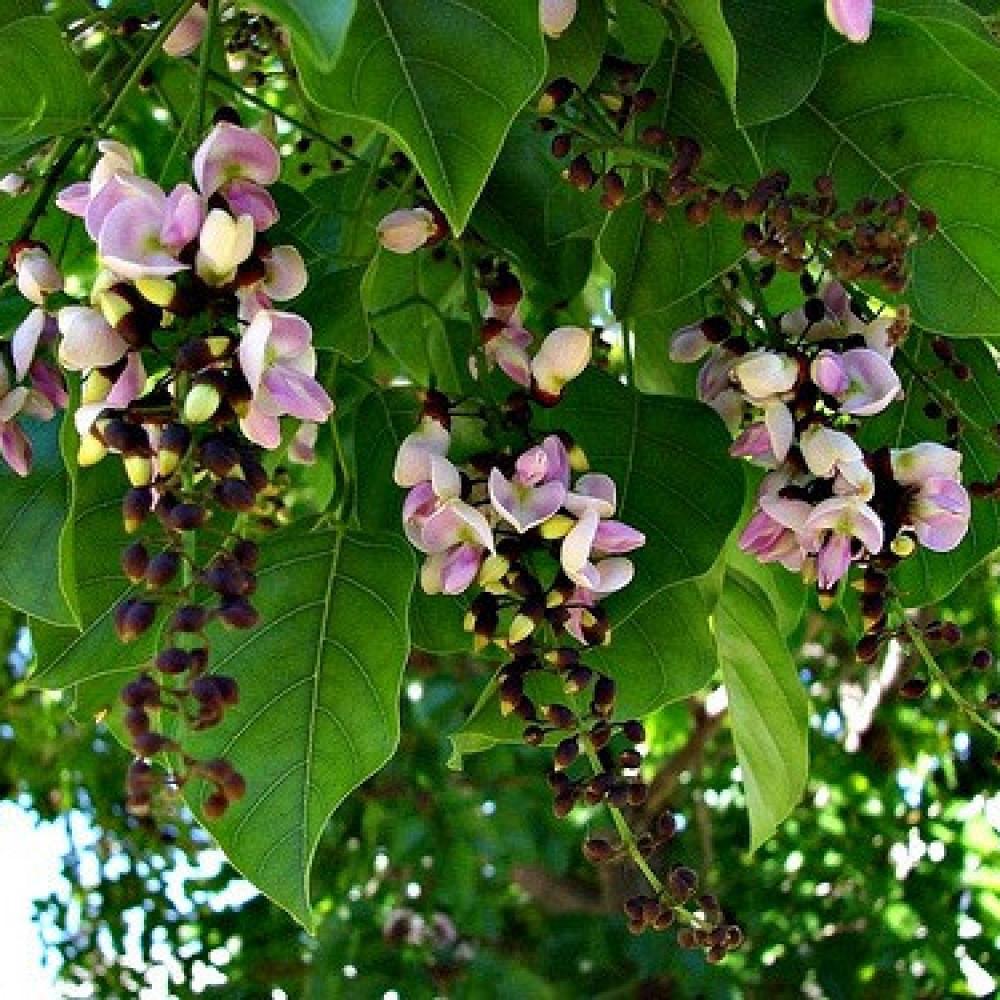 زهور البونجاميا