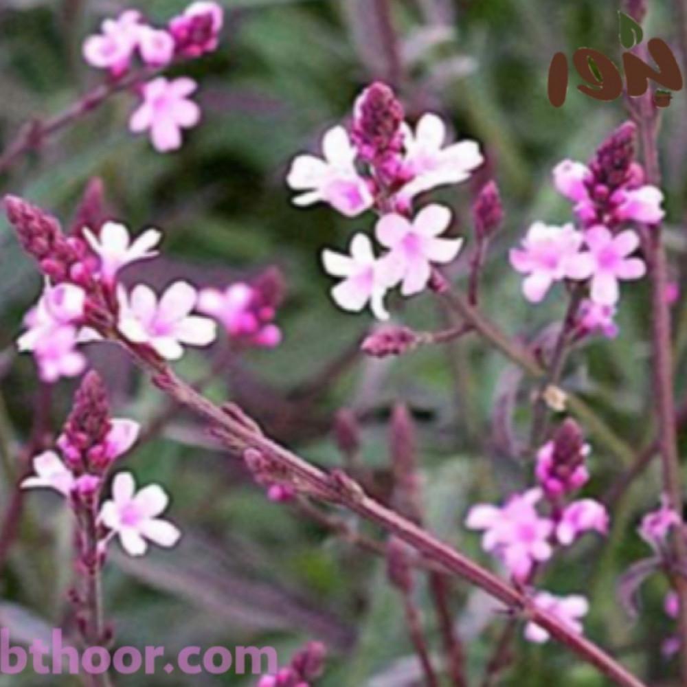زهور رعي الحمام الطبي