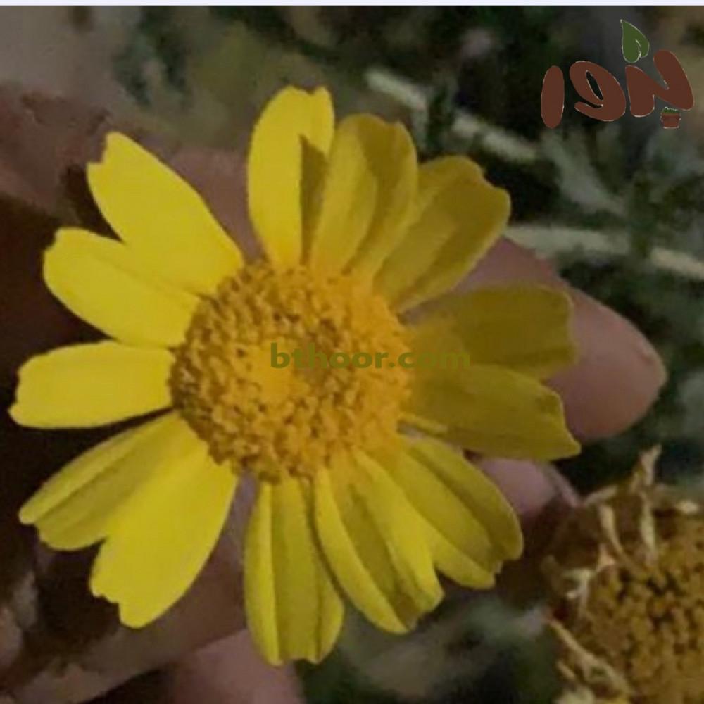 زهور ديزي الذرة