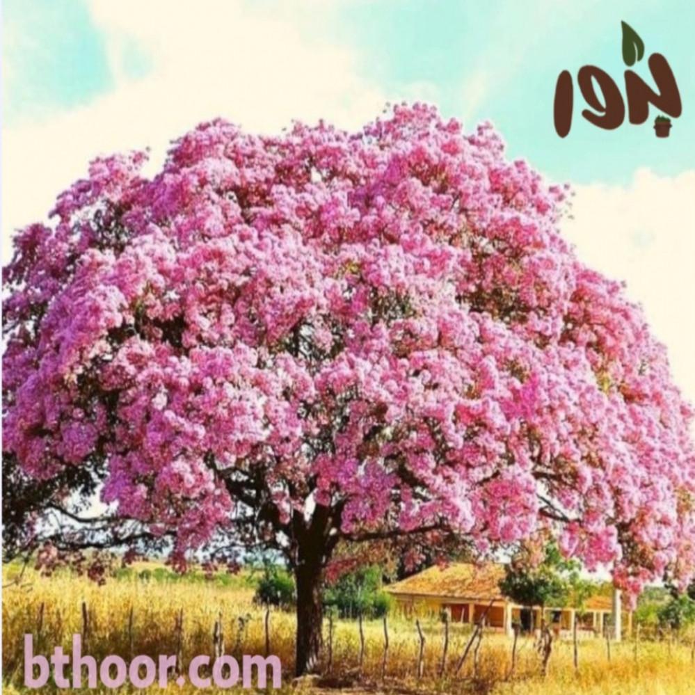 شجرة التابوبيا الوردية