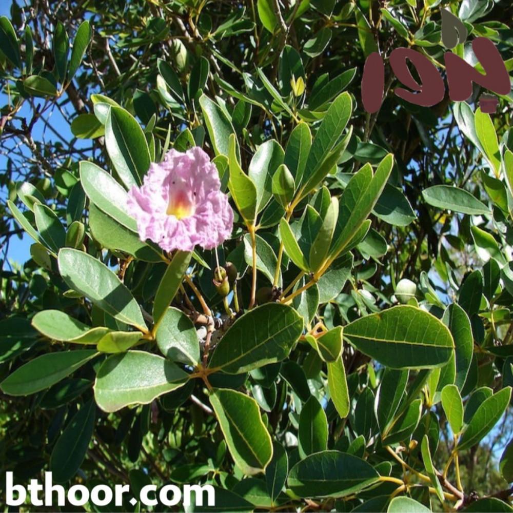 اوراق التابوبيا الوردية