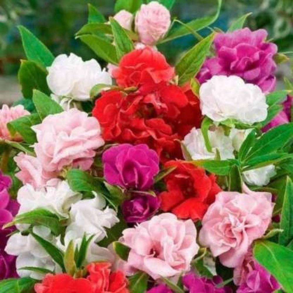 بذور زهور بلسمينا-متجر بذور الزراعي