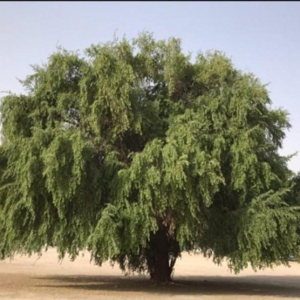 بذور شجرة السدر البري