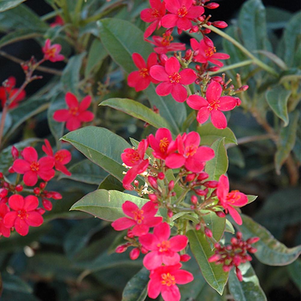 زهور الجاتروفا
