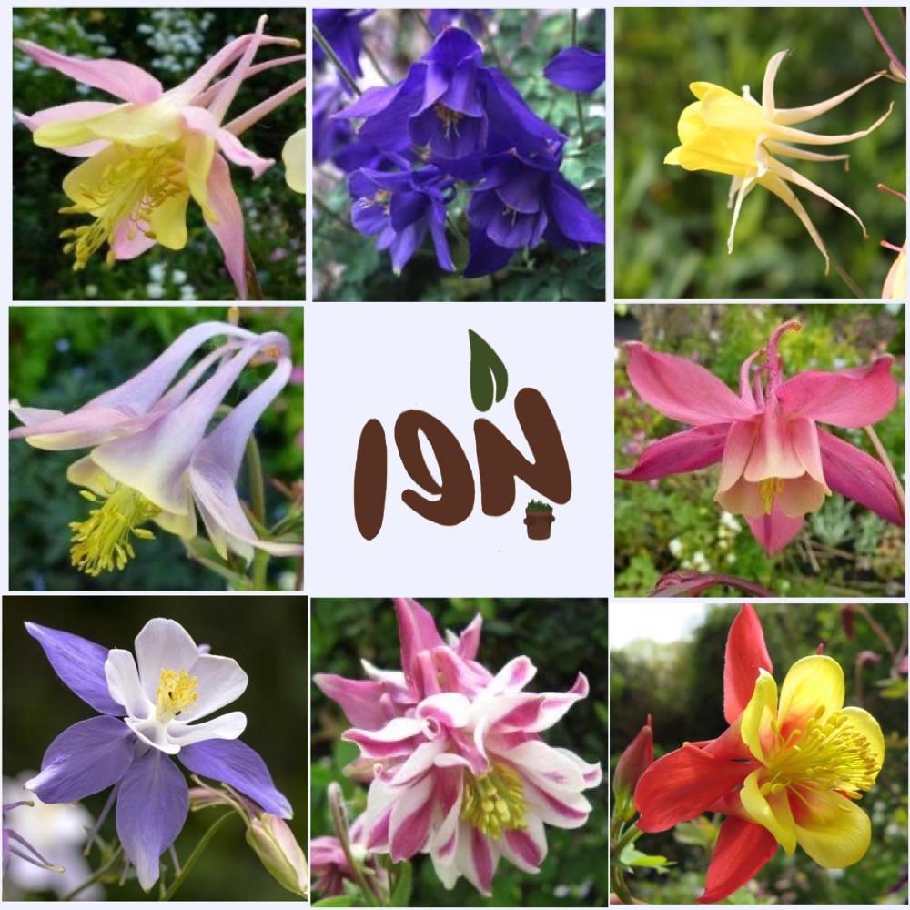 زهرة كولمبيان-متجر بذور الزراعي