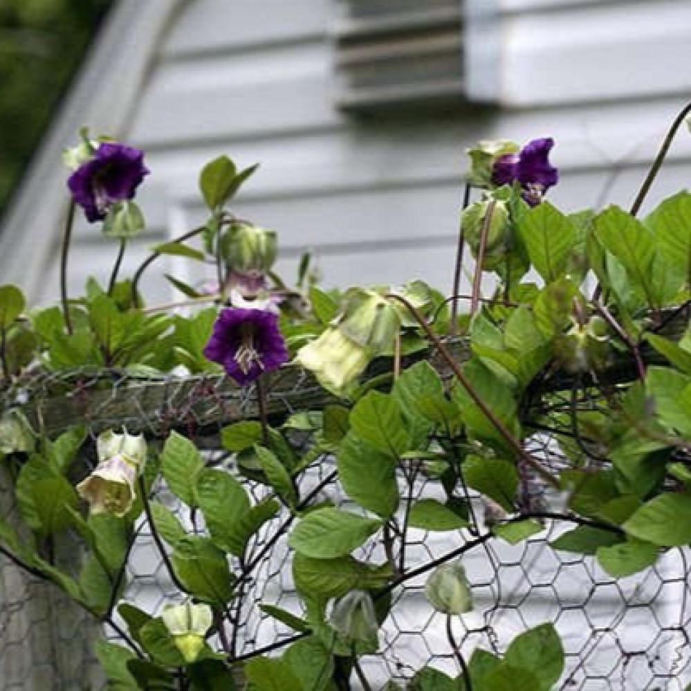 زهور متسلقة الكوبية