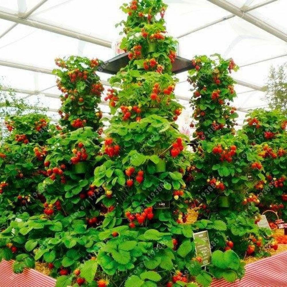بذور شجره الفراولة-متجر بذور الزراعي