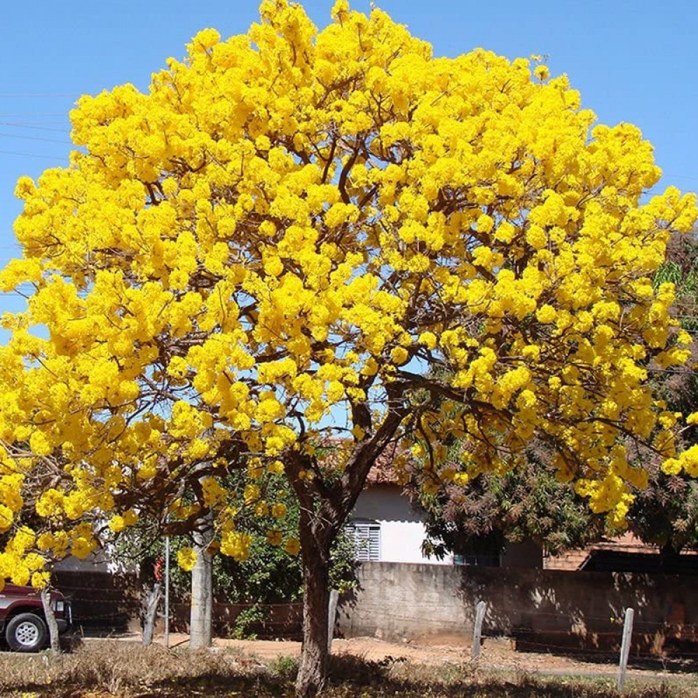 بذور شجرة التابوبيا الصفراء- متجر بذور الزراعي