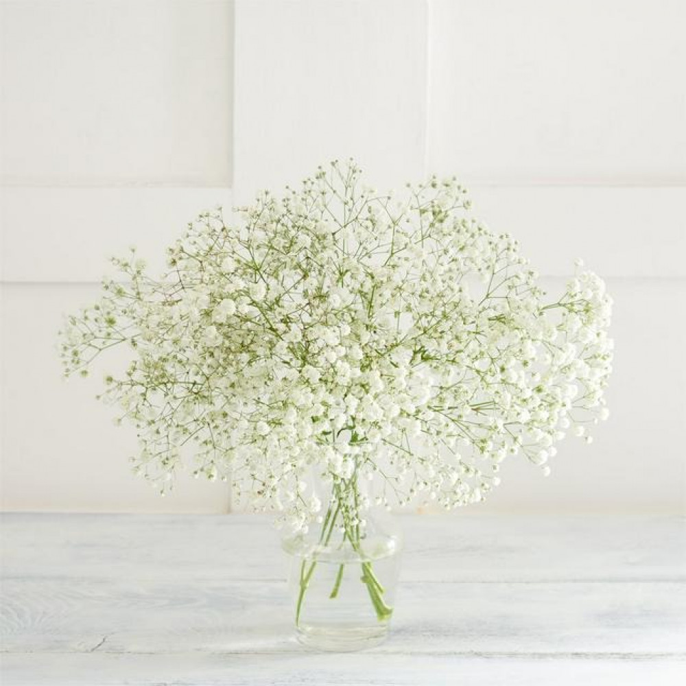 بذور زهور جيسوفيلا