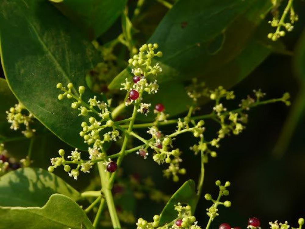 ثمار شجرة الأراك