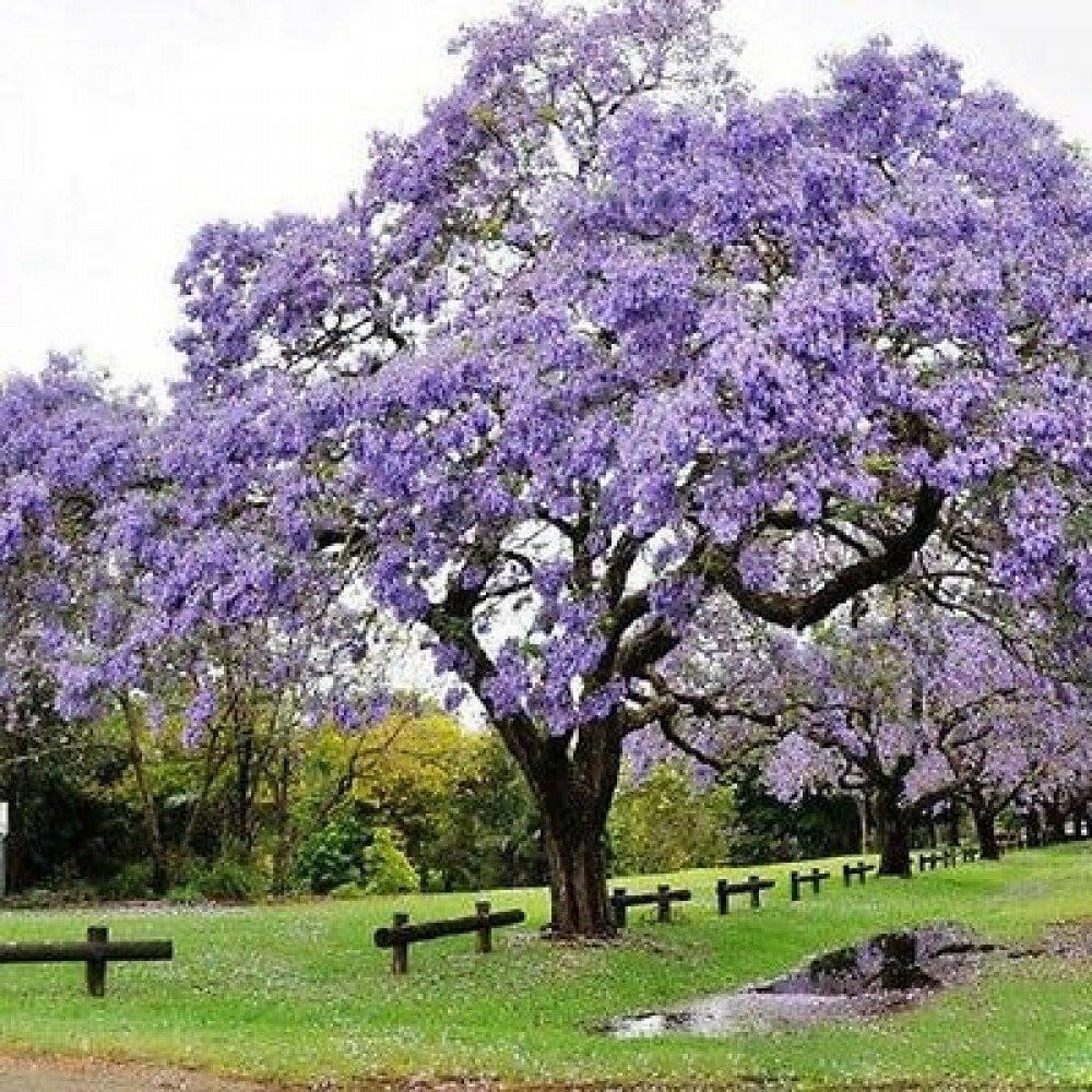 بذور شجرة الجاكرندا