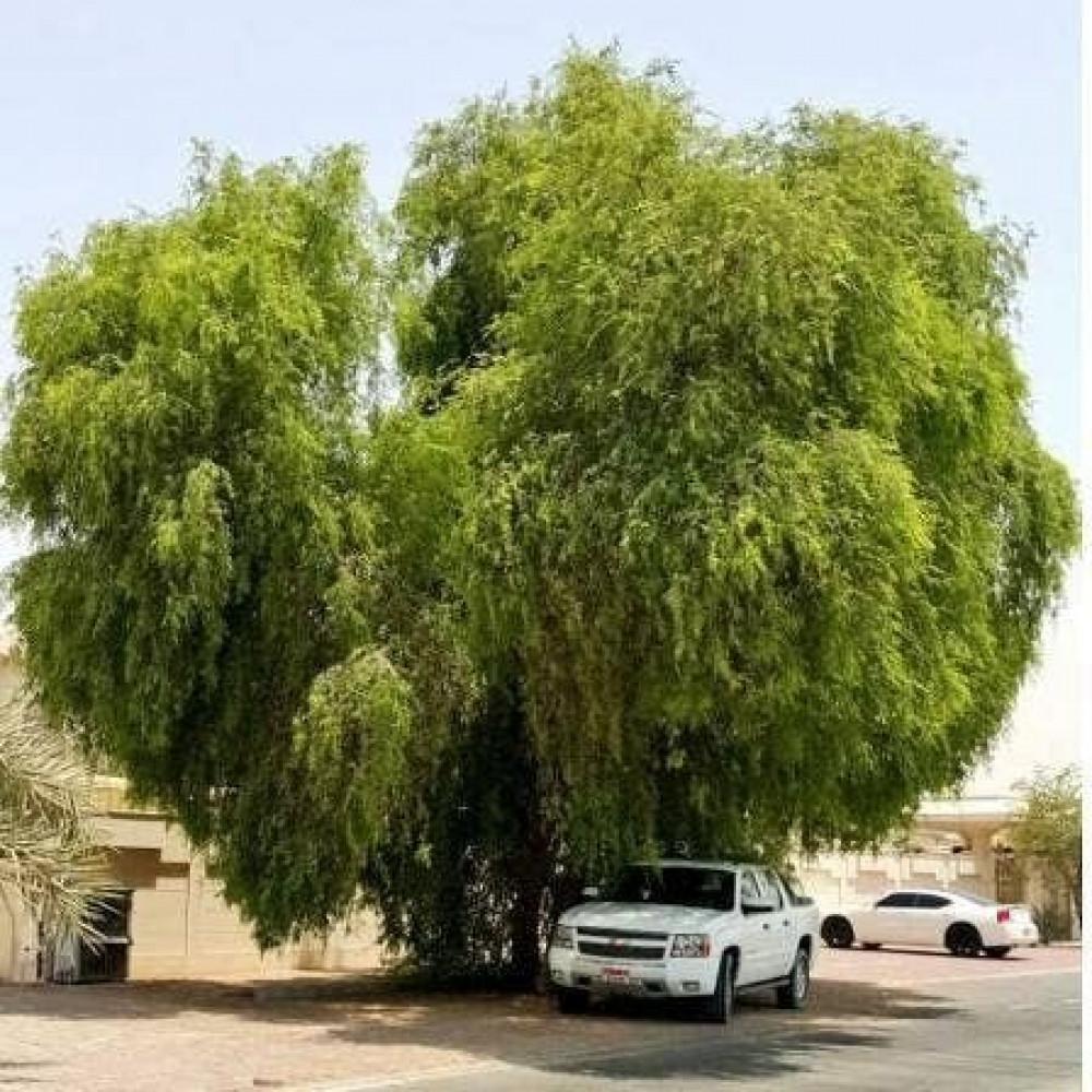 الغاف الخليجي