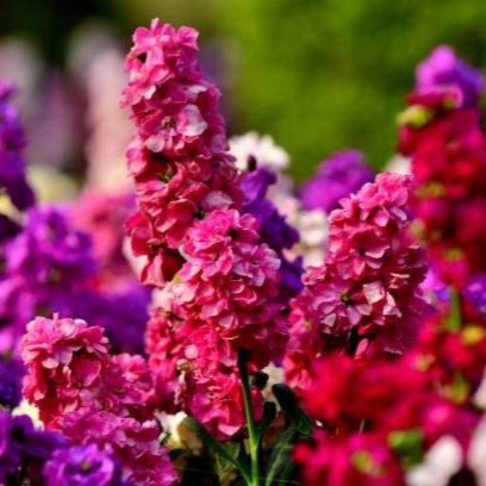 زهور المنثور