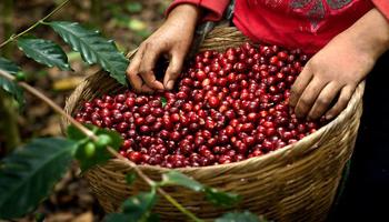 محاصيل القهوة