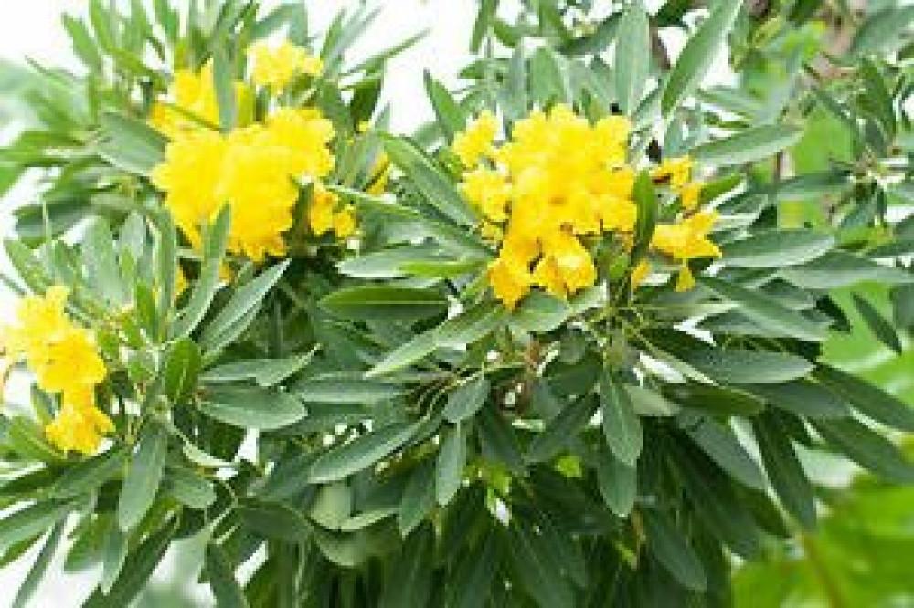 زهور التابوبيا الصفراء